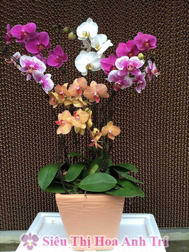 Chậu hoa lan hồ điệp đa sắc màu