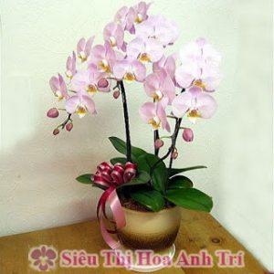 Chậu hoa lan hồ điệp hồng 3 cành