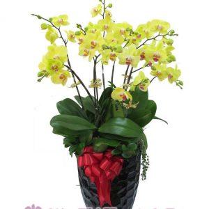 Chậu hoa lan hồ điệp sắc vàng
