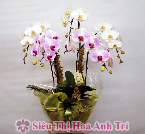 chau-lan-ho-diep-mini-5-canh